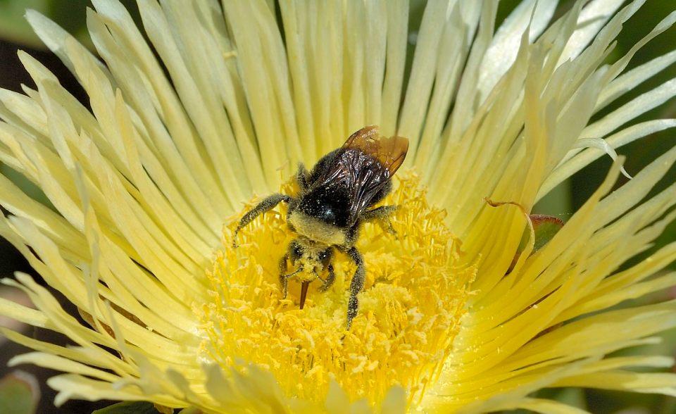 BeeIceplant