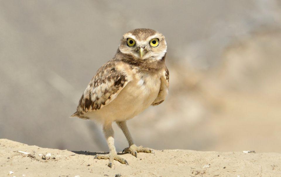 OwlGround3
