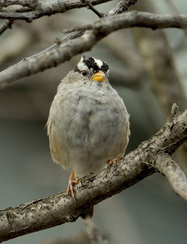 Sparrow_White-crowned