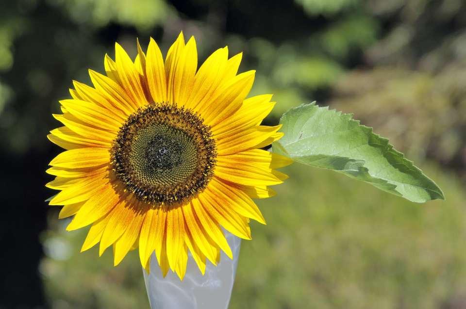 SunflowerSm
